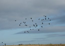 What I learned from watching a flock of crows this week