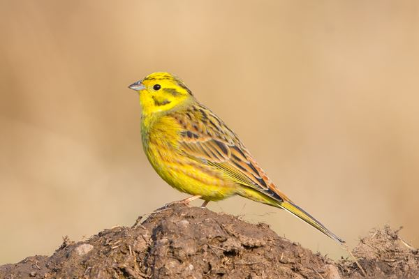 the unseen beauty of the yellowhammer